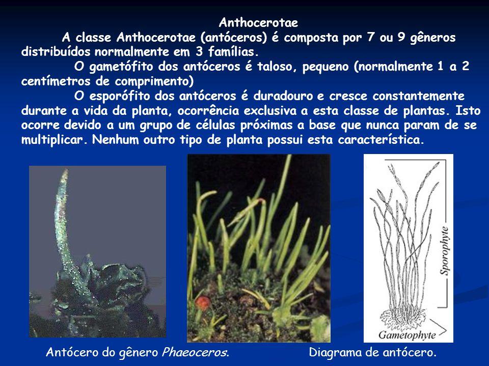 Anthocerotae A classe Anthocerotae (antóceros) é composta por 7 ou 9 gêneros distribuídos normalmente em 3 famílias. O gametófito dos antóceros é talo