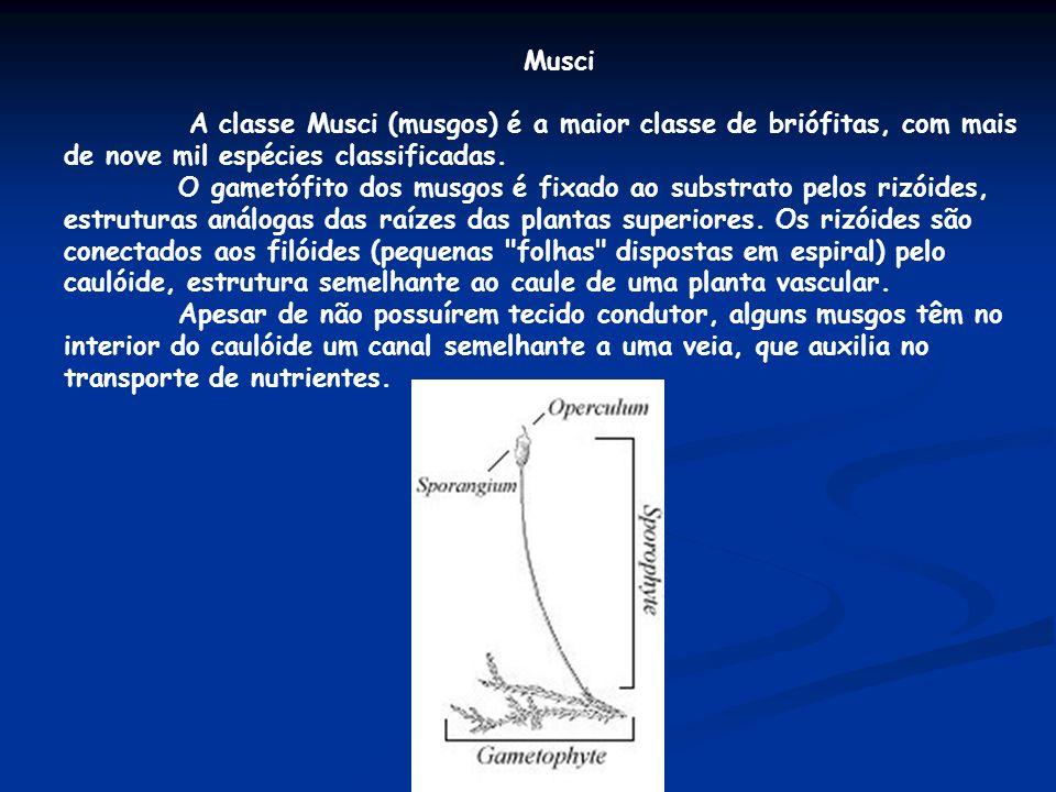 Musci A classe Musci (musgos) é a maior classe de briófitas, com mais de nove mil espécies classificadas. O gametófito dos musgos é fixado ao substrat