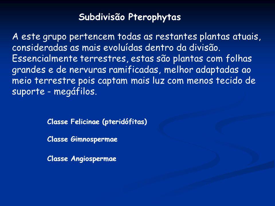 Subdivisão Pterophytas A este grupo pertencem todas as restantes plantas atuais, consideradas as mais evoluídas dentro da divisão. Essencialmente terr