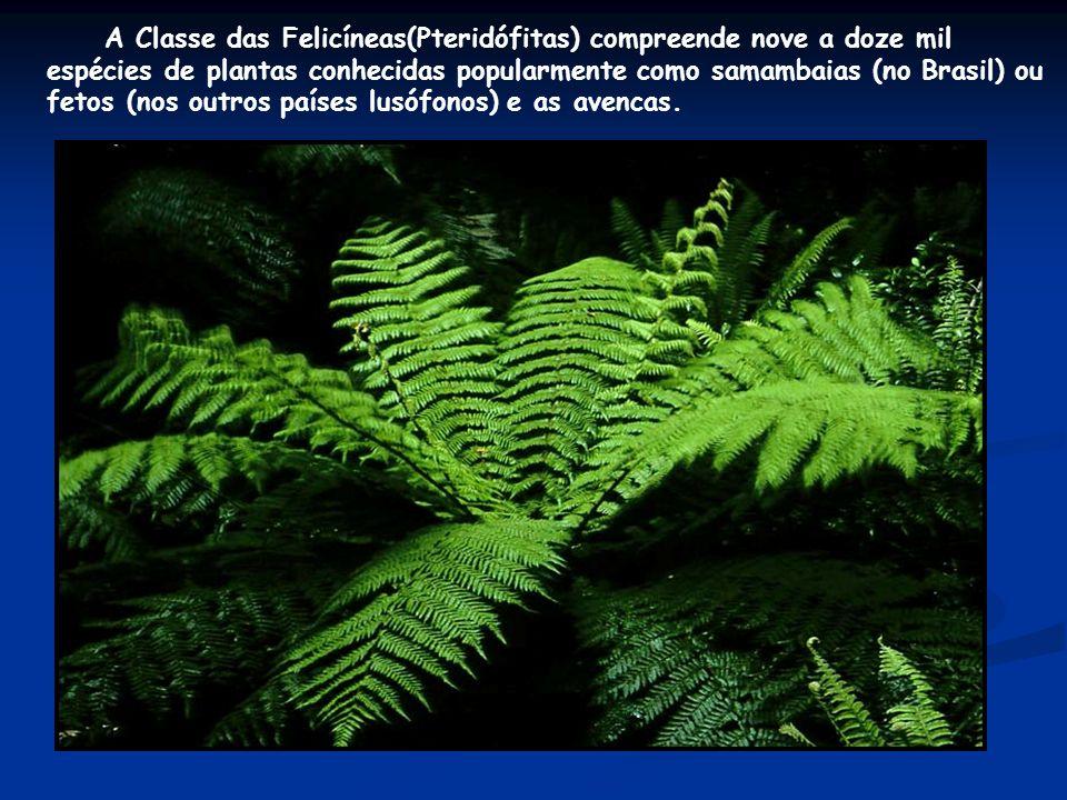 A Classe das Felicíneas(Pteridófitas) compreende nove a doze mil espécies de plantas conhecidas popularmente como samambaias (no Brasil) ou fetos (nos