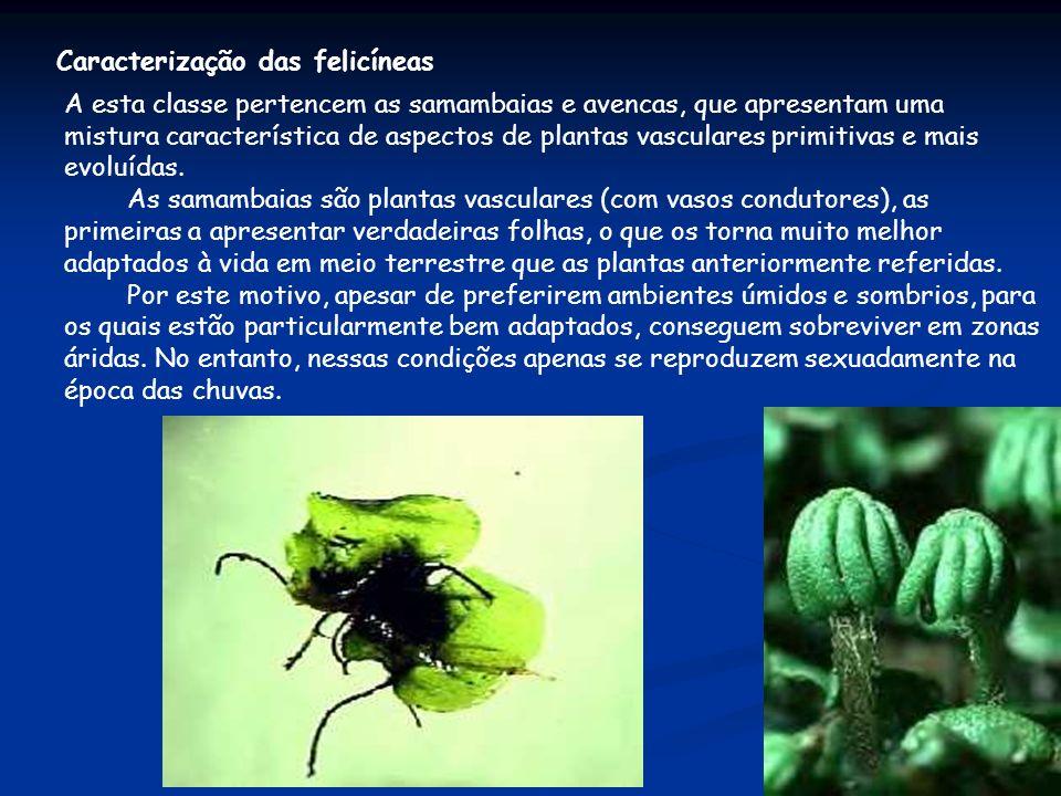 Caracterização das felicíneas A esta classe pertencem as samambaias e avencas, que apresentam uma mistura característica de aspectos de plantas vascul