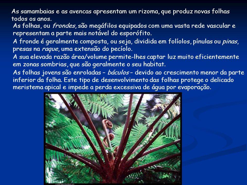 As samambaias e as avencas apresentam um rizoma, que produz novas folhas todos os anos. As folhas, ou frondes, são megáfilos equipados com uma vasta r