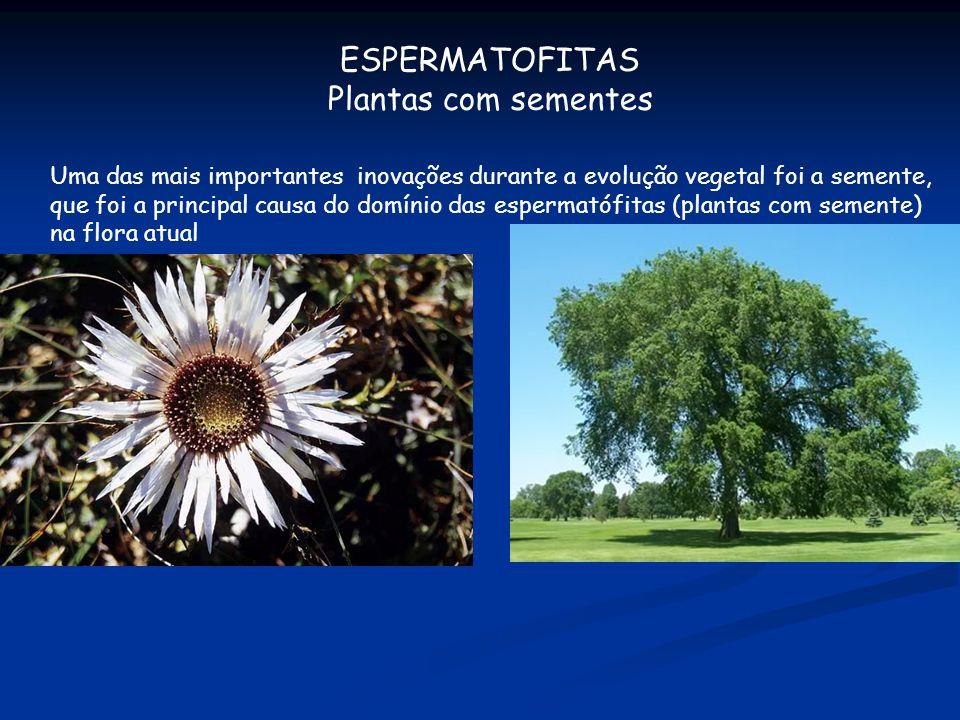 ESPERMATOFITAS Plantas com sementes Uma das mais importantes inovações durante a evolução vegetal foi a semente, que foi a principal causa do domínio