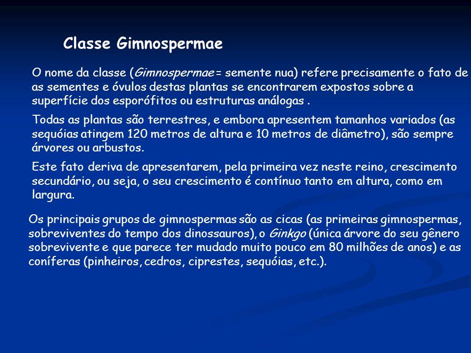 Classe Gimnospermae O nome da classe (Gimnospermae = semente nua) refere precisamente o fato de as sementes e óvulos destas plantas se encontrarem exp