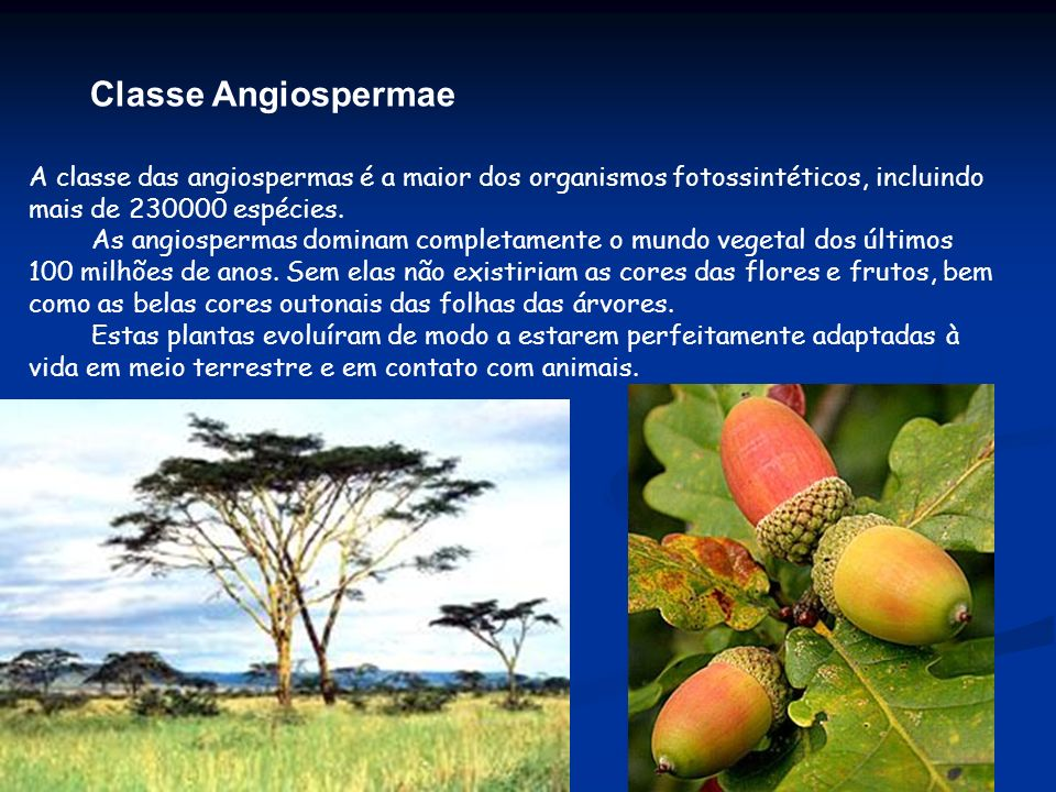 Classe Angiospermae A classe das angiospermas é a maior dos organismos fotossintéticos, incluindo mais de 230000 espécies. As angiospermas dominam com