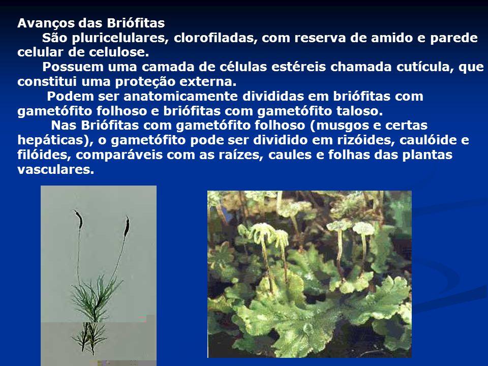 Avanços das Briófitas São pluricelulares, clorofiladas, com reserva de amido e parede celular de celulose. Possuem uma camada de células estéreis cham