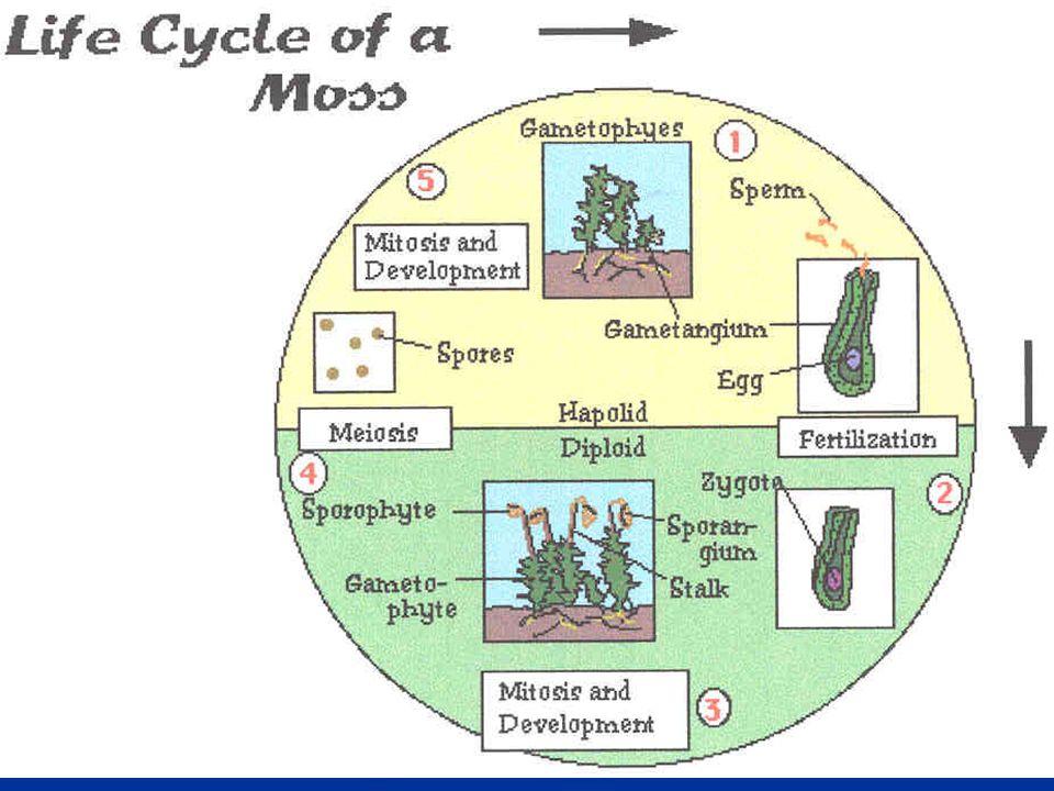 Taxonomia das Briófitas As briófitas são divididas atualmente em três grandes classes: Hepaticae, Anthocerotae e Musci (hepáticas, antóceros e musgos).