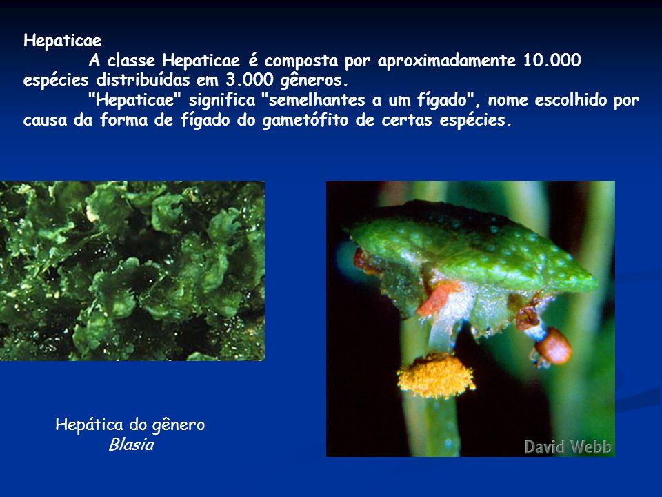 Hepaticae A classe Hepaticae é composta por aproximadamente 10.000 espécies distribuídas em 3.000 gêneros.