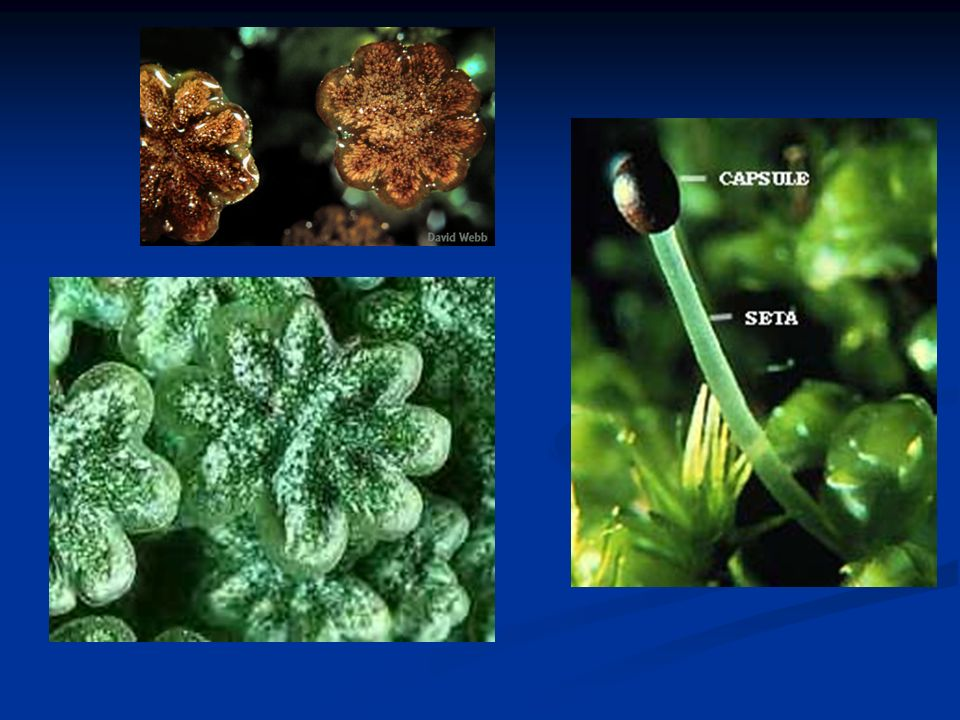 Caracterização A esta divisão pertencem as plantas vasculares.