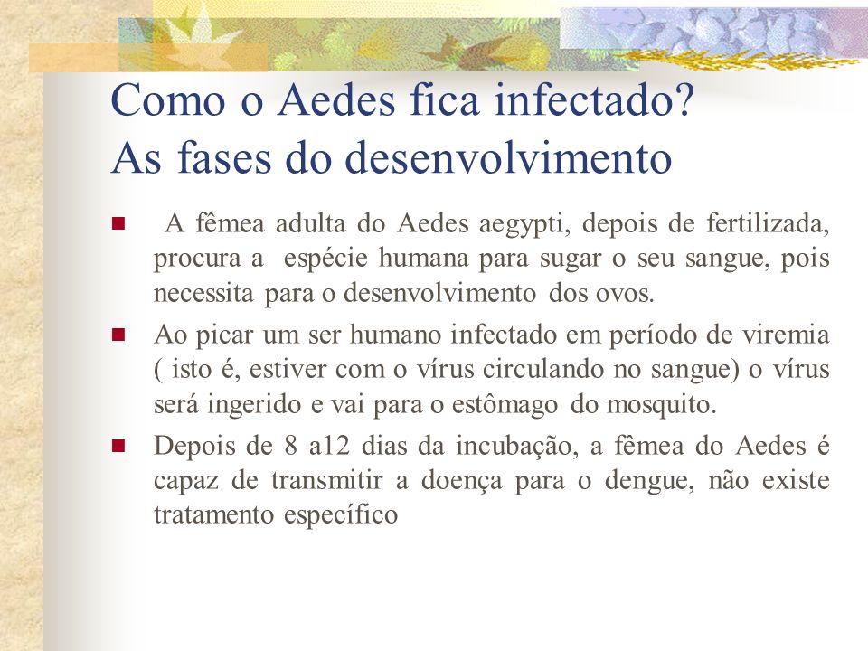 Como o Aedes fica infectado? As fases do desenvolvimento A fêmea adulta do Aedes aegypti, depois de fertilizada, procura a espécie humana para sugar o