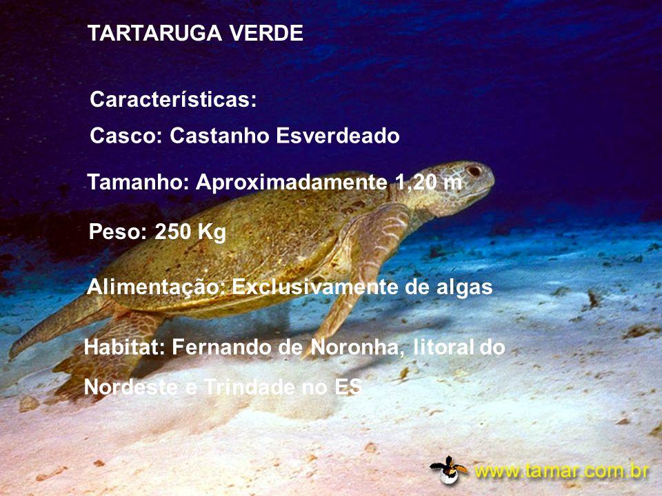 TARTARUGA PENTE É também chamada de tartaruga verdadeira ou legítima Casco: Marrom e Amarelo, sua boca lembra o formato de um bico de Gavião Tamanho: