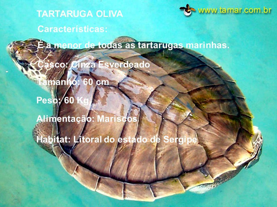 TARTARUGA - CABEÇUDA Características: Casco: Marrom e Amarelado Tamanho: Aproximadamente 1 m P eso: 150 a 250 Kg A limentação: Mariscos H abitat: Em t