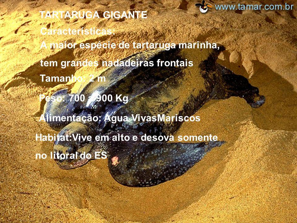 TARTARUGA OLIVA Características: Casco: Cinza Esverdeado Tamanho: 60 cm P eso: 60 Kg A limentação: Mariscos H abitat: Litoral do estado de Sergipe É a
