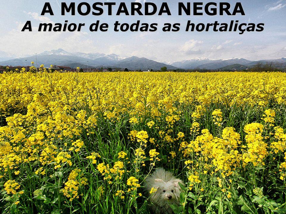 A MOSTARDA NEGRA A maior de todas as hortaliças