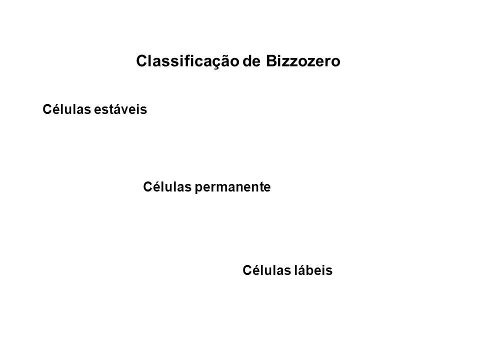 Classificação de Bizzozero Células estáveis Células permanente Células lábeis