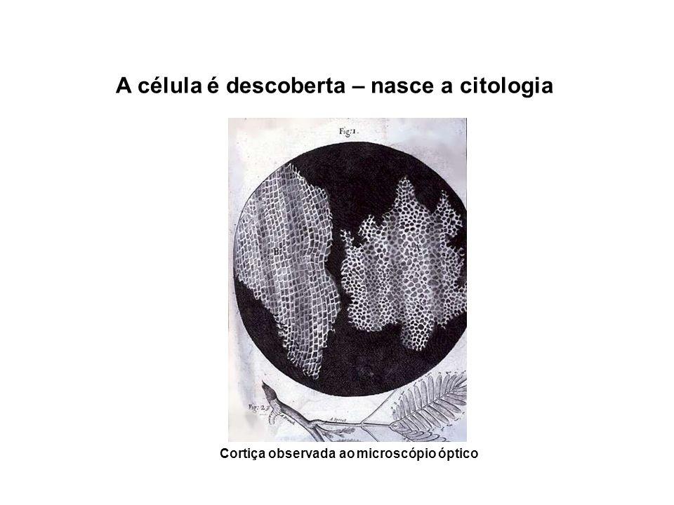 A célula é descoberta – nasce a citologia Cortiça observada ao microscópio óptico
