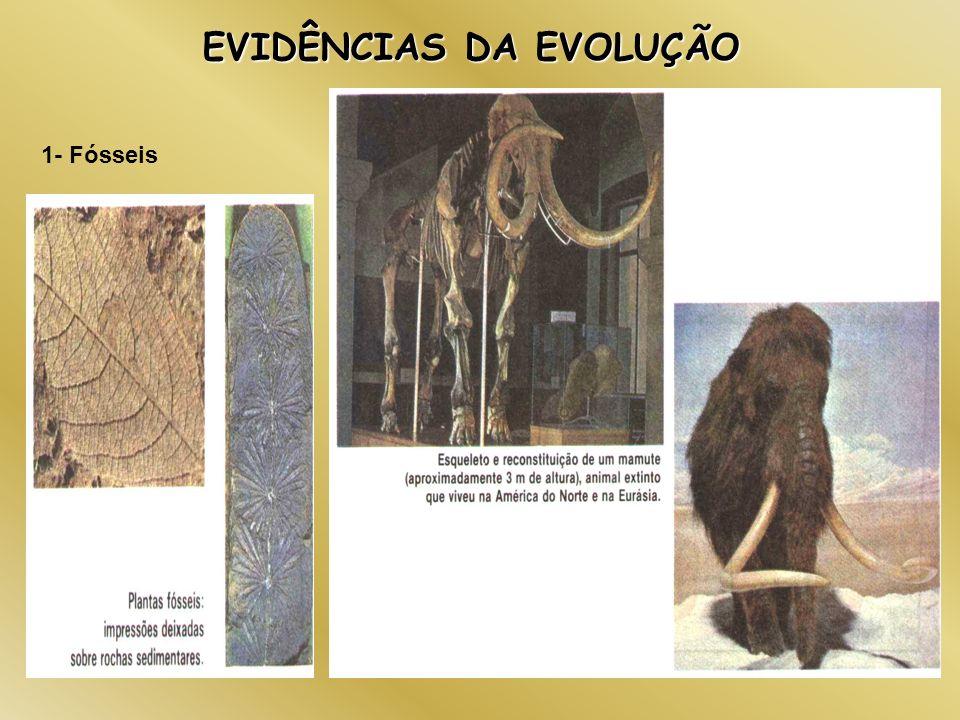 EVIDÊNCIAS DA EVOLUÇÃO 1- Fósseis 2- Órgãos Vestigiais
