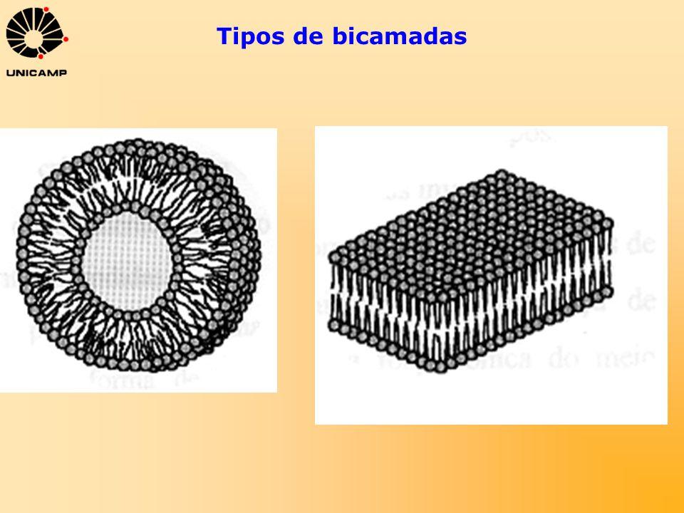 Lipossomas Localização de moléculas em bicamadas