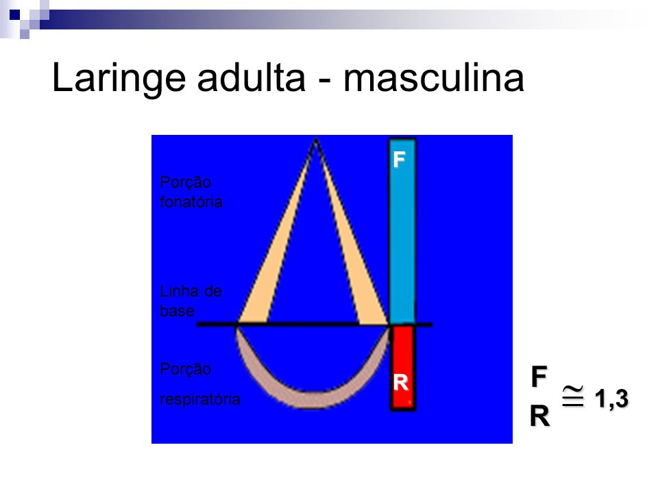 Laringe adulta - masculina Foto: Arquivo Unimep