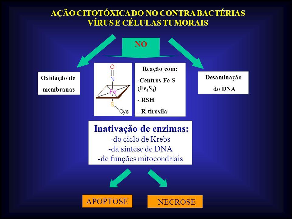 AÇÃO CITOTÓXICA DO NO CONTRA BACTÉRIAS VÍRUS E CÉLULAS TUMORAIS Inativação de enzimas: -do ciclo de Krebs -da síntese de DNA -de funções mitocondriais