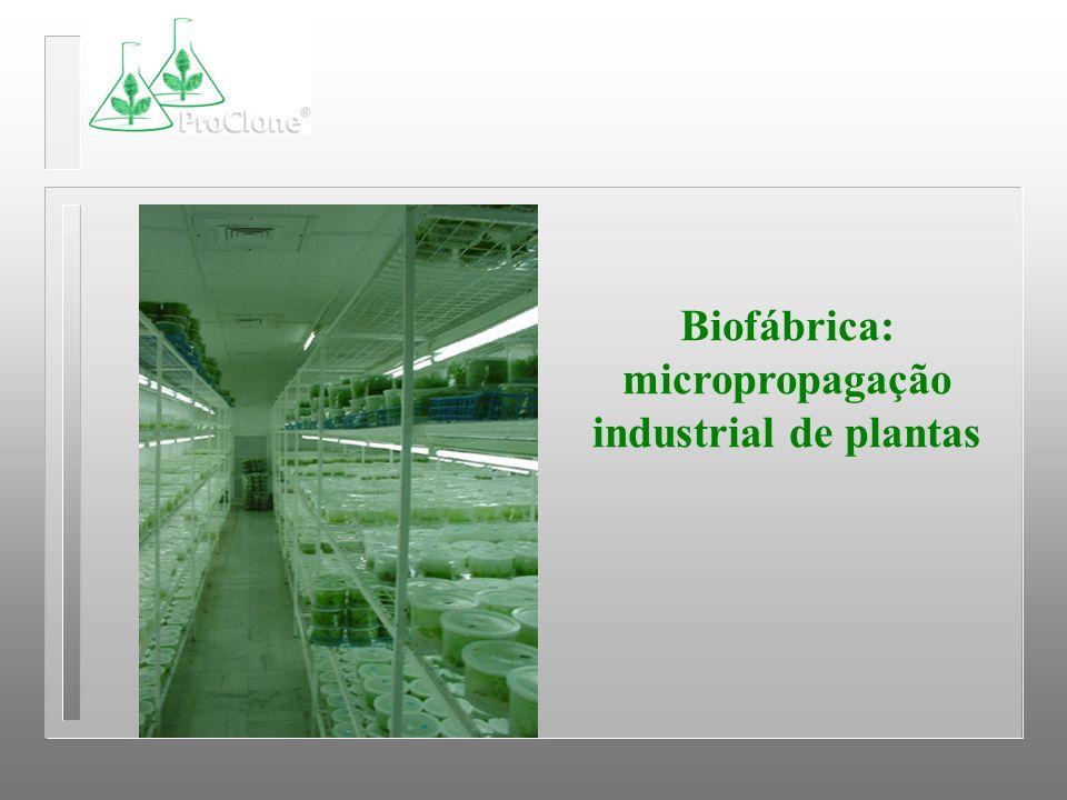 Biofábrica: micropropagação industrial de plantas