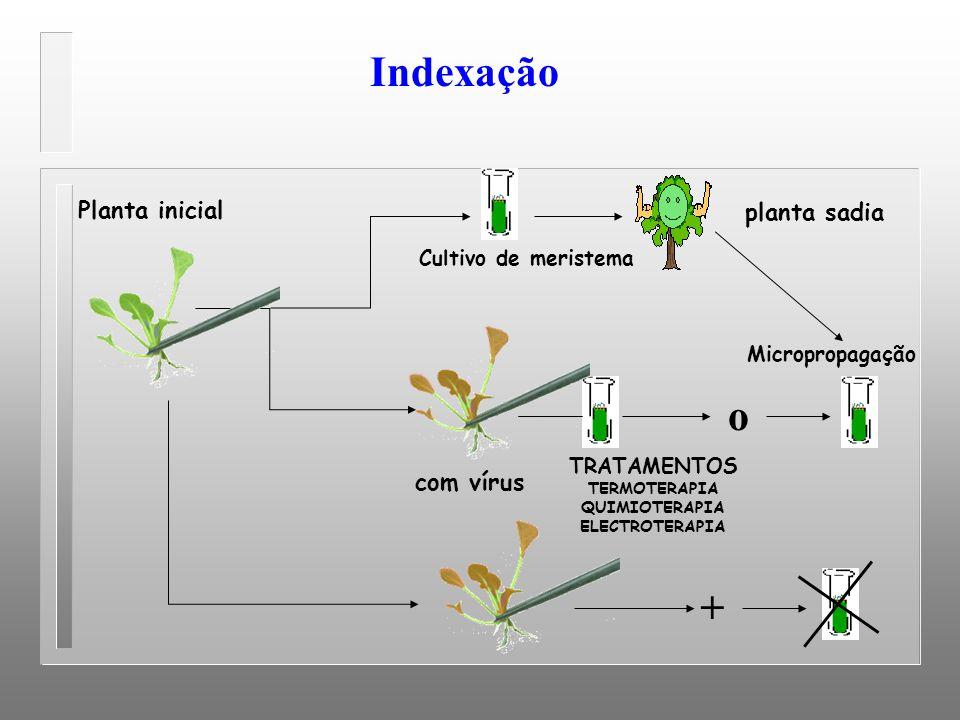 Indexação Planta inicial planta sadia com vírus o TRATAMENTOS TERMOTERAPIA QUIMIOTERAPIA ELECTROTERAPIA Micropropagação Cultivo de meristema +