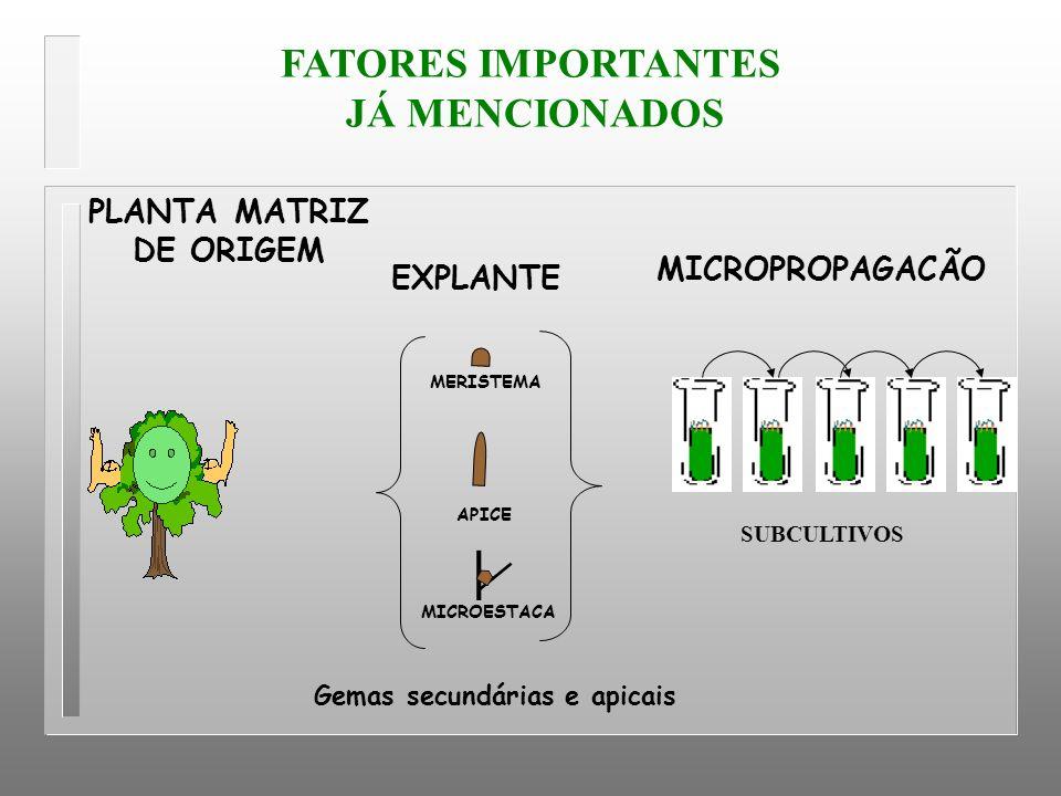 MICROESTACA APICE MERISTEMA SUBCULTIVOS EXPLANTE Gemas secundárias e apicais PLANTA MATRIZ DE ORIGEM MICROPROPAGACÃO FATORES IMPORTANTES JÁ MENCIONADO
