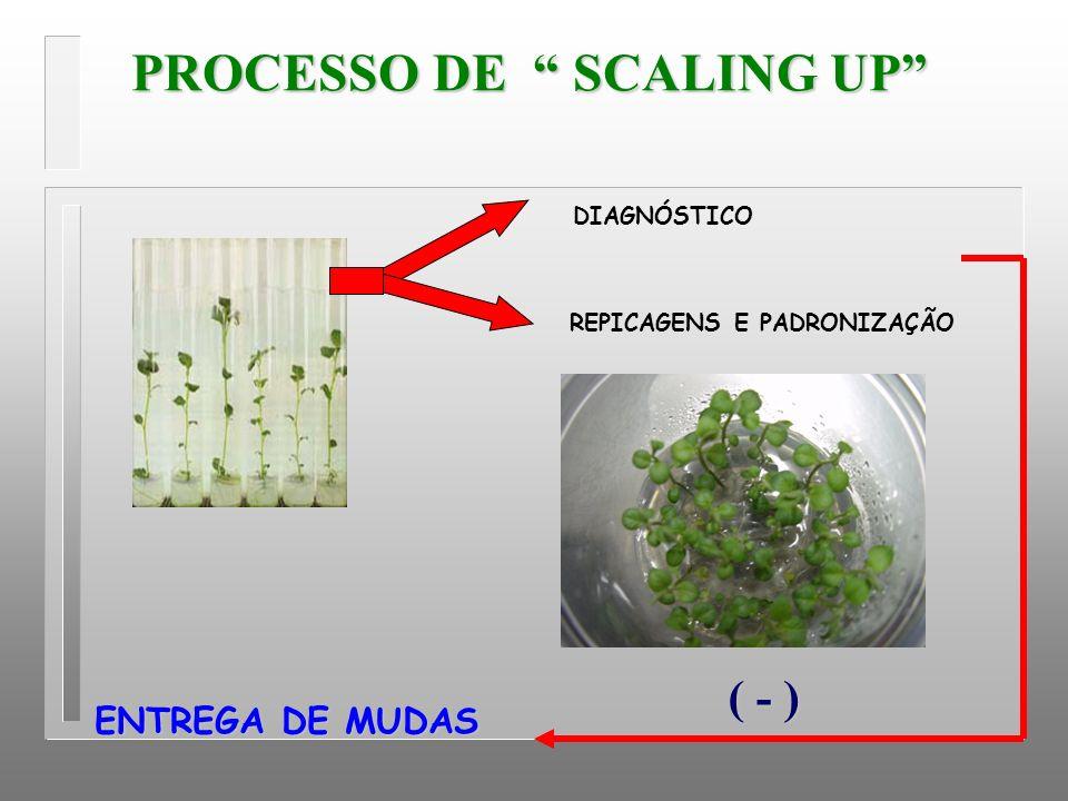 PROCESSO DE SCALING UP REPICAGENS E PADRONIZAÇÃO ENTREGA DE MUDAS ( - ) DIAGNÓSTICO