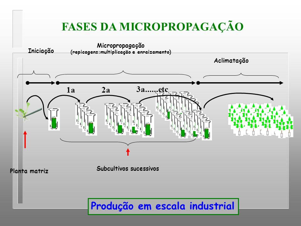 Iniciação Micropropagação (repicagens:multiplicação e enraizamento) Aclimatação 2a1a 3a......etc Planta matriz Subcultivos sucessivos Produção em esca