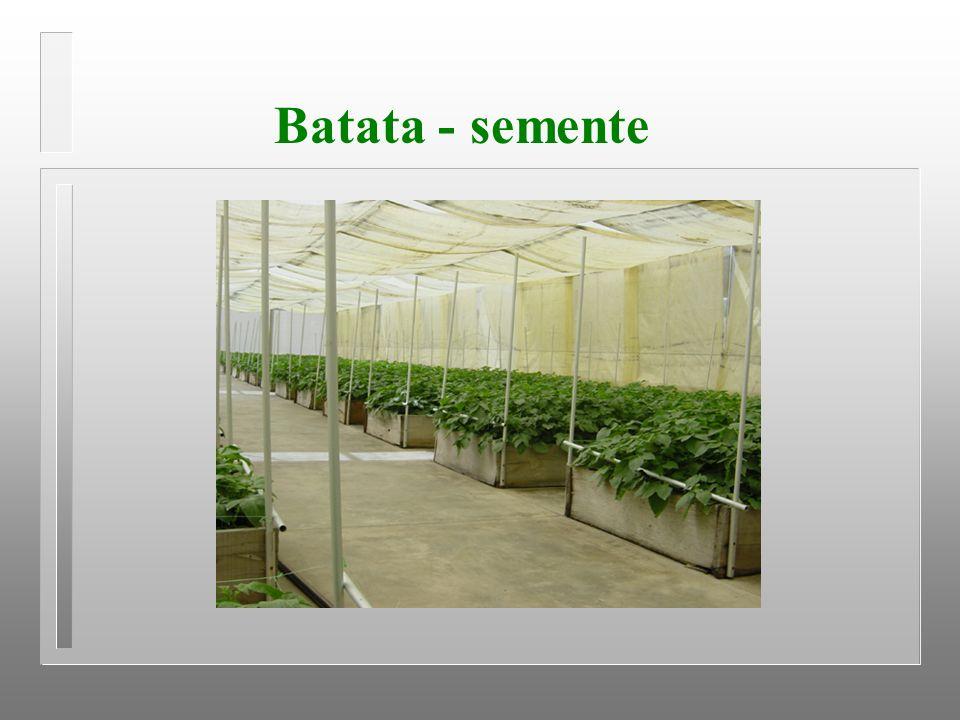 Batata - semente