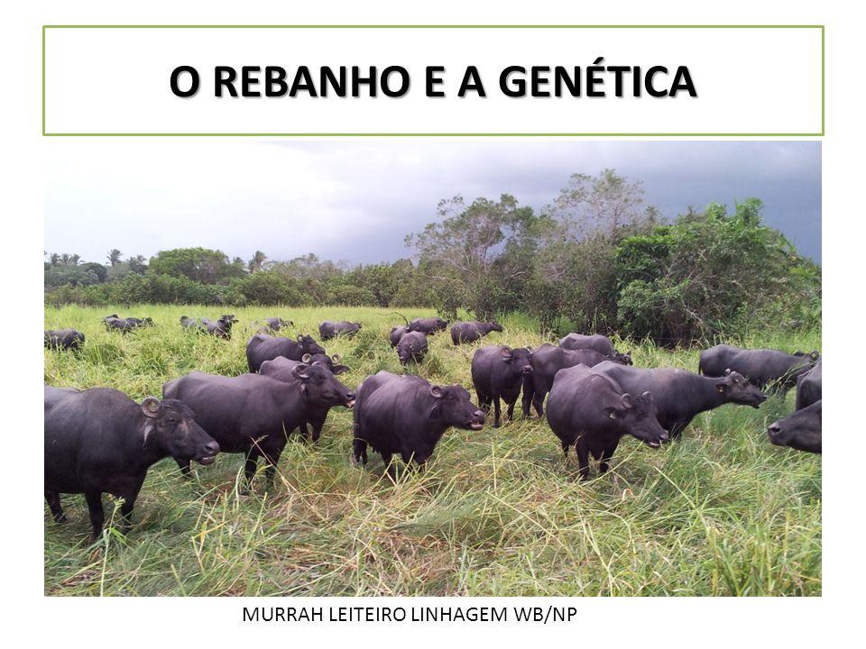 O REBANHO E A GENÉTICA MURRAH LEITEIRO LINHAGEM WB/NP