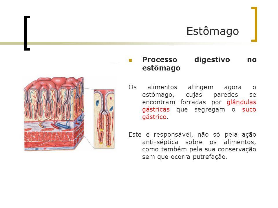 Estômago Processo digestivo no estômago Os alimentos atingem agora o estômago, cujas paredes se encontram forradas por glândulas gástricas que segrega