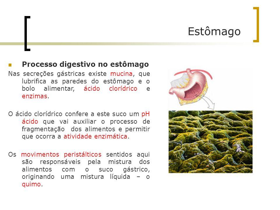 Estômago Processo digestivo no estômago Nas secreções gástricas existe mucina, que lubrifica as paredes do estômago e o bolo alimentar, ácido clorídri
