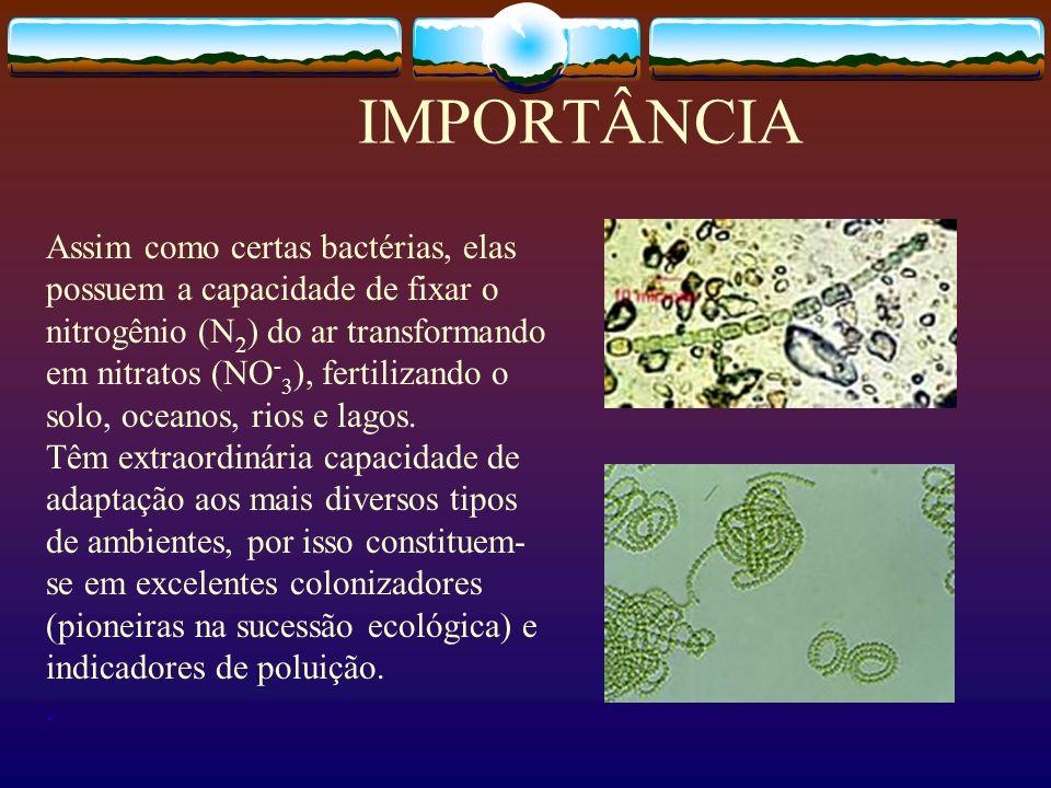 IMPORTÂNCIA Assim como certas bactérias, elas possuem a capacidade de fixar o nitrogênio (N 2 ) do ar transformando em nitratos (NO - 3 ), fertilizand