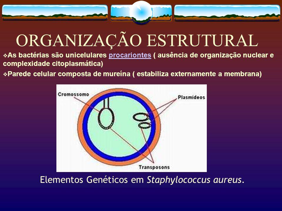 ORGANIZAÇÃO ESTRUTURAL As bactérias são unicelulares procariontes ( ausência de organização nuclear e complexidade citoplasmática)procariontes Parede