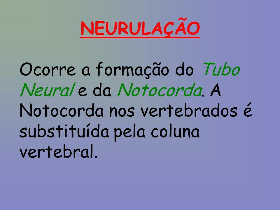 NEURULAÇÃO Ocorre a formação do Tubo Neural e da Notocorda.