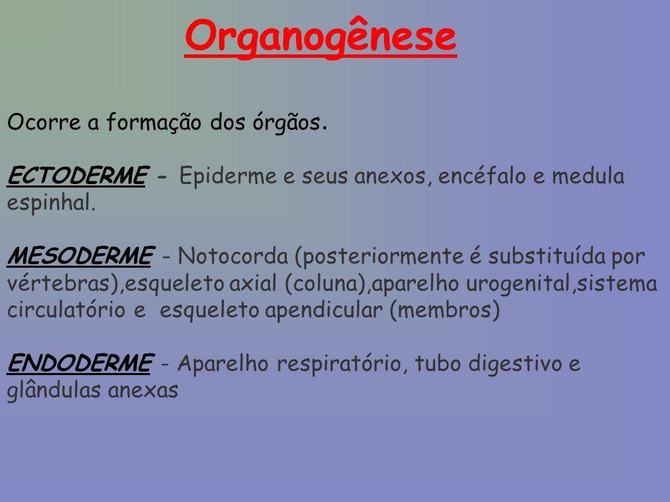Organogênese Ocorre a formação dos órgãos. ECTODERME - Epiderme e seus anexos, encéfalo e medula espinhal. MESODERME - Notocorda (posteriormente é sub