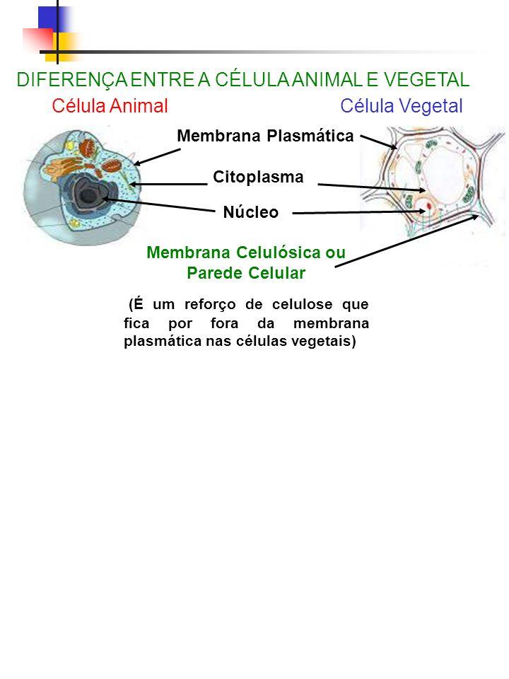 DIFERENÇA ENTRE A CÉLULA ANIMAL E VEGETAL Célula Animal Célula Vegetal Membrana Plasmática Citoplasma Núcleo Membrana Celulósica ou Parede Celular (É