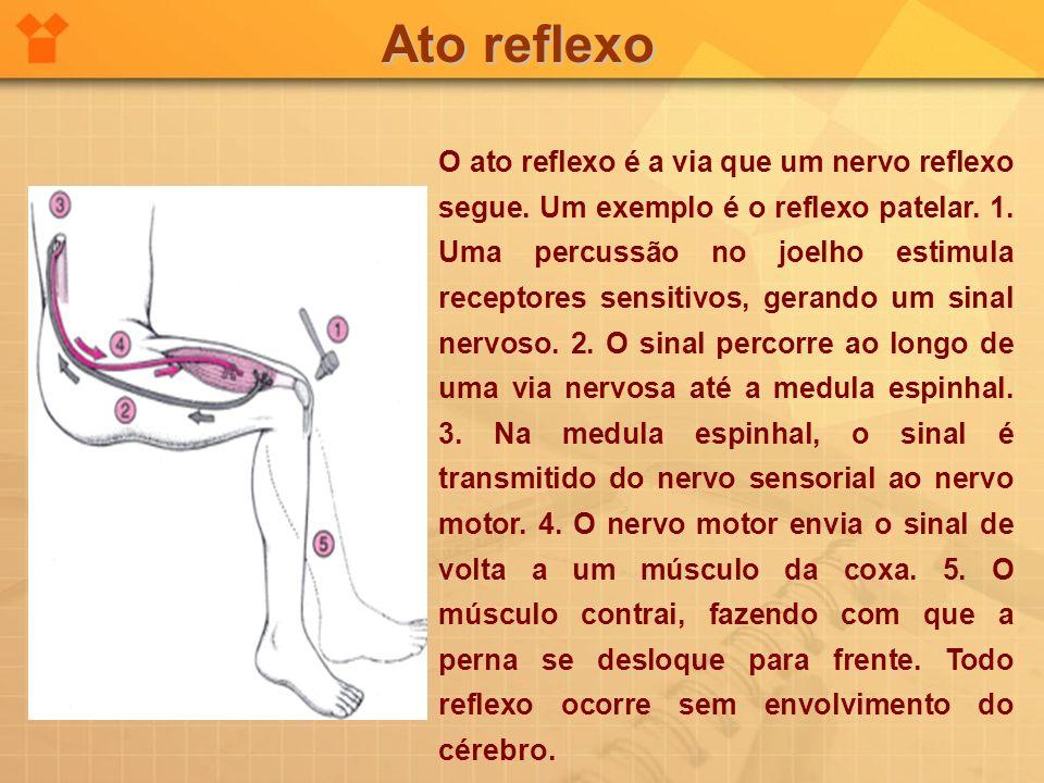 Ato reflexo O ato reflexo é a via que um nervo reflexo segue. Um exemplo é o reflexo patelar. 1. Uma percussão no joelho estimula receptores sensitivo