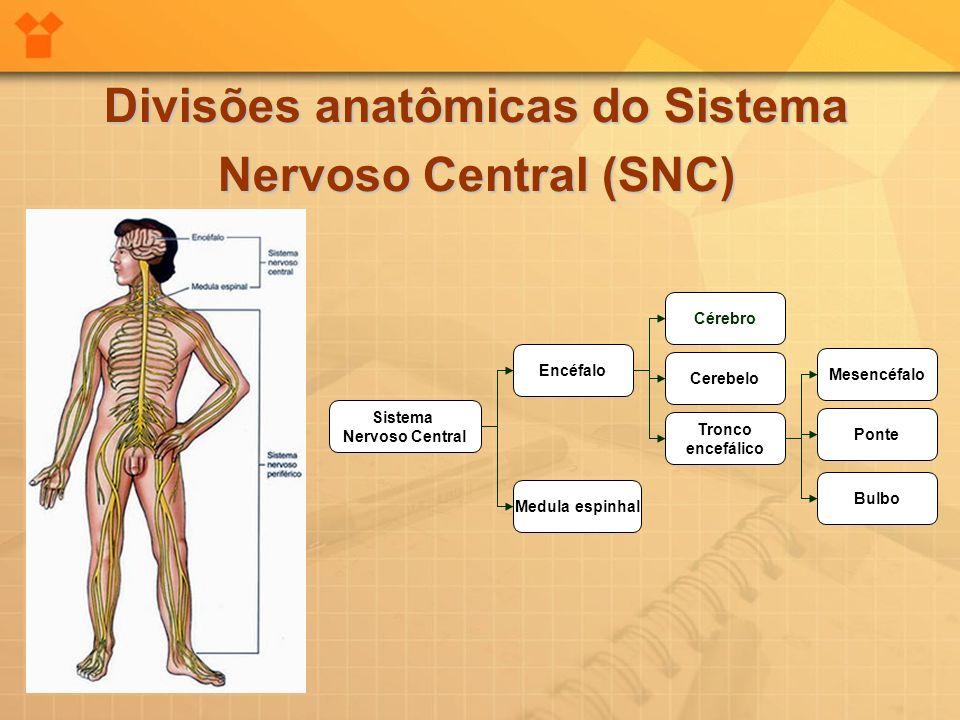 Divisões anatômicas do Sistema Nervoso Central (SNC) Sistema Nervoso Central Encéfalo Medula espinhal Cérebro Cerebelo Tronco encefálico Mesencéfalo P