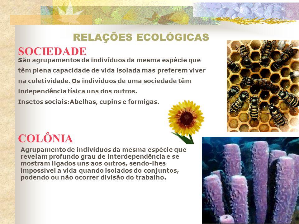 RELAÇÕES ECOLÓGICAS SOCIEDADE COLÔNIA São agrupamentos de indivíduos da mesma espécie que têm plena capacidade de vida isolada mas preferem viver na c