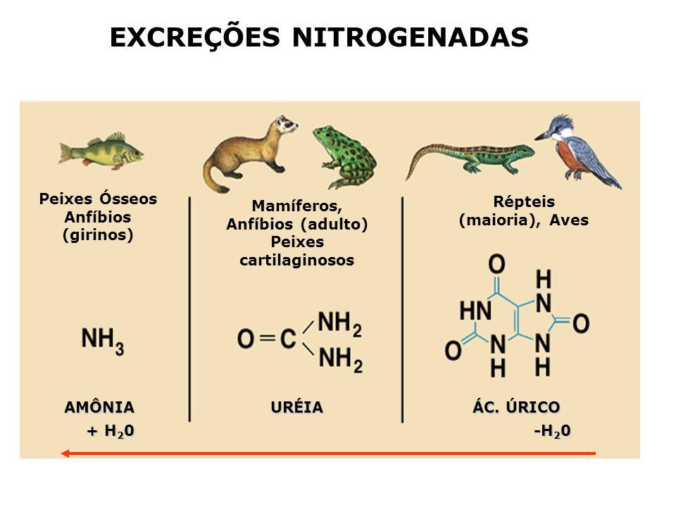 EXCREÇÕES NITROGENADAS Aminoácidos (proteínas) Amônia (alta solubilidade e toxicidade) Uréia solúvel baixa toxicidade Ácido úrico insolúvel, átóxico