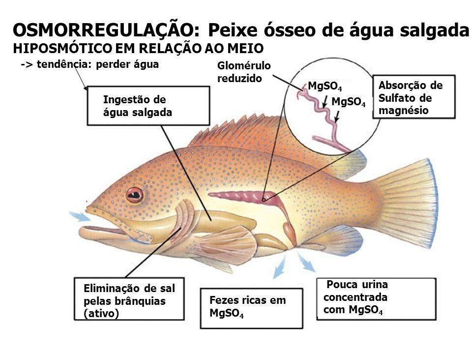 OSMORREGULAÇÃO: Peixes cartilaginosos (maioria marinho) H2OH2O Sais : Relativamente isosmótico - acúmulo de uréia no sangue impede a perda de água -in