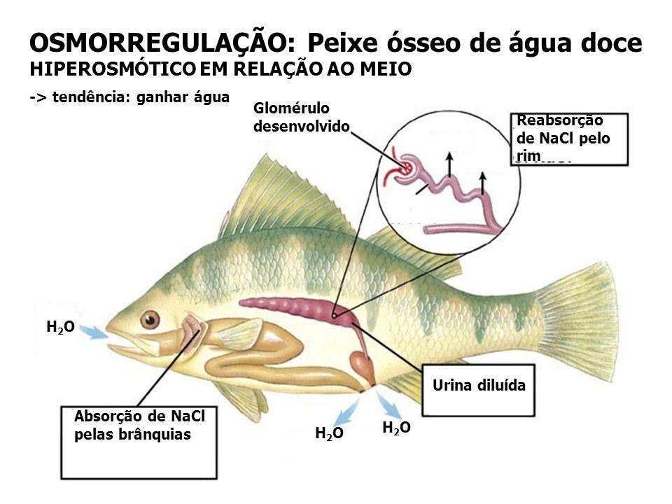OSMORREGULAÇÃO: Peixe ósseo de água salgada HIPOSMÓTICO EM RELAÇÃO AO MEIO Glomérulo reduzido MgSO 4 Absorção de Sulfato de magnésio Pouca urina conce