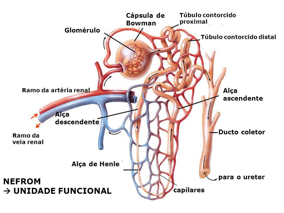 Córtex renal Medula renal Ducto coletor Córtex renal Medula renal Pelve renal Ureter