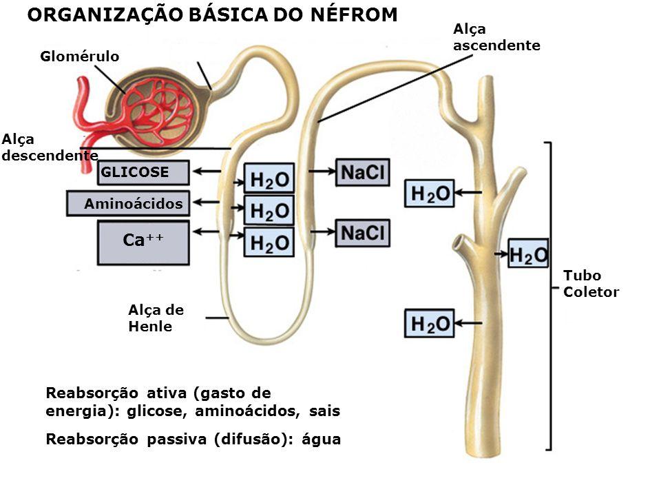 Glomérulo Cápsula de Bowman Excreção: K +, H + Água, exc. nitrogenadas Túbulo renal FUNÇÕES DO RIM Filtração Filtração: pressão hidrostática do sangue