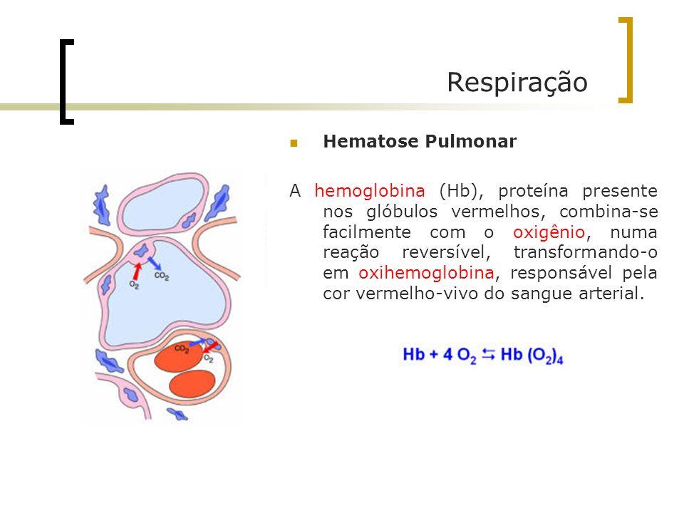Respiração Hematose Pulmonar A hemoglobina (Hb), proteína presente nos glóbulos vermelhos, combina-se facilmente com o oxigênio, numa reação reversíve