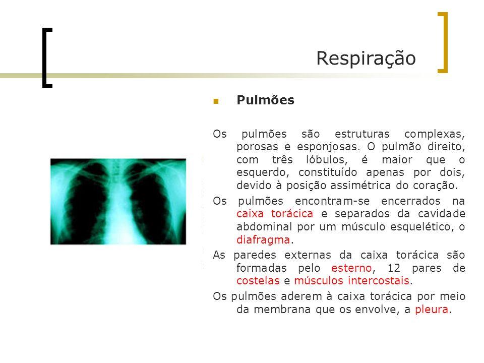 Respiração Pulmões Os pulmões são estruturas complexas, porosas e esponjosas. O pulmão direito, com três lóbulos, é maior que o esquerdo, constituído