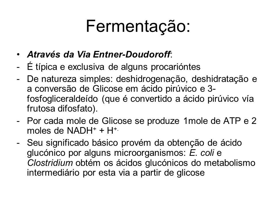 Fermentação: Através da Via Entner-Doudoroff: -É típica e exclusiva de alguns procarióntes -De natureza simples: deshidrogenação, deshidratação e a conversão de Glicose em ácido pirúvico e 3- fosfogliceraldeído (que é convertido a ácido pirúvico vía frutosa difosfato).