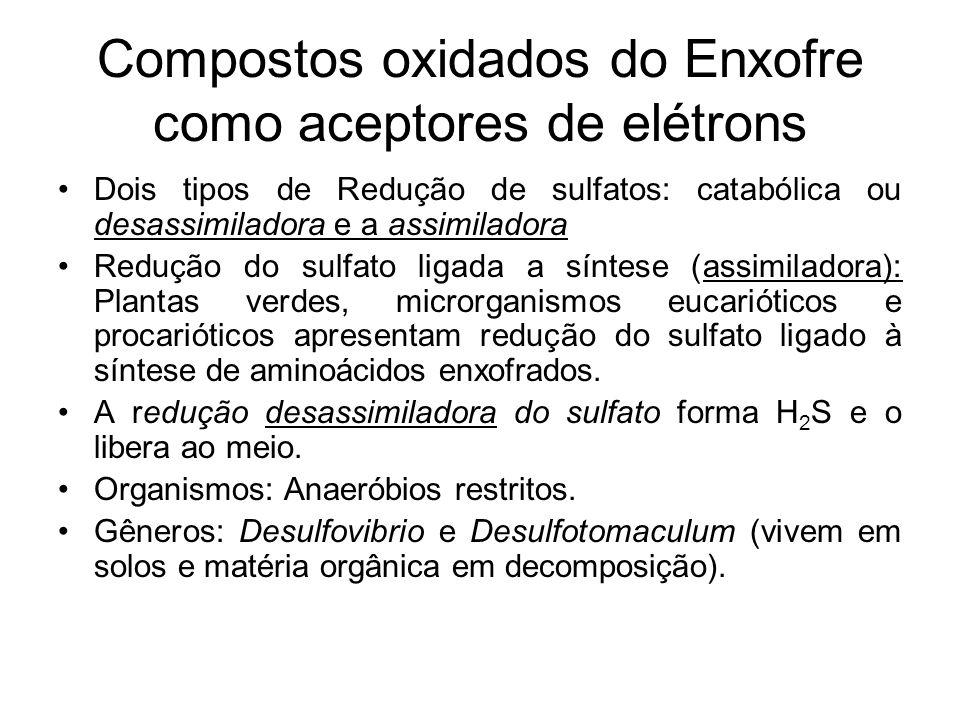 Compostos oxidados do Enxofre como aceptores de elétrons Dois tipos de Redução de sulfatos: catabólica ou desassimiladora e a assimiladora Redução do sulfato ligada a síntese (assimiladora): Plantas verdes, microrganismos eucarióticos e procarióticos apresentam redução do sulfato ligado à síntese de aminoácidos enxofrados.